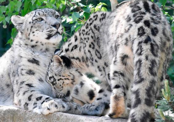 Snow leopards seen in Wilhelma botanical-zoological garden in Stuttgart, ten days after its reopening (AFP /AFP via Getty Images)