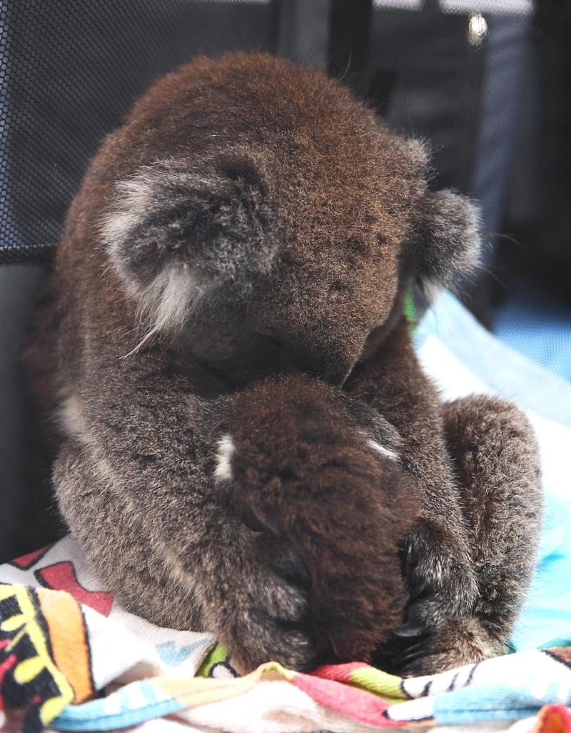 A young koala in Adelaide hugs his stuffed toy as he sleeps(Getty Images)