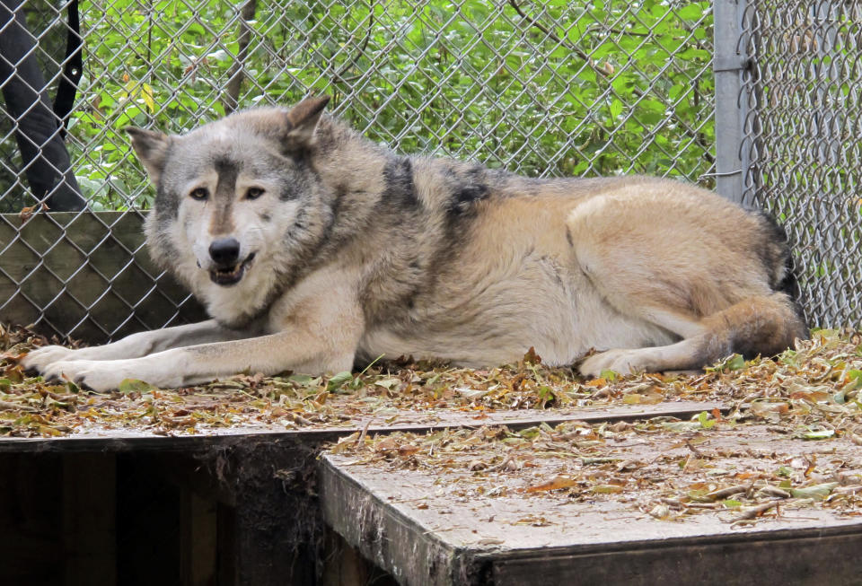 FILE - In this Oct. 10. 2012 file photo, a timber wolf named Comet is seen at the Timber Wolf Preservation Society in Greendale, Wis. A coalition of animal rights groups planned to file a lawsuit Tuesday, Aug. 31, 2021, to stop Wisconsin's fall wolf hunt. (AP Photo/Carrie Antlfinger, File)