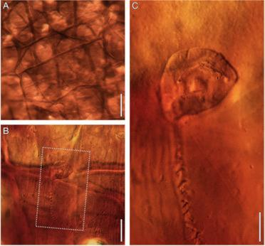 The Triassic Vorticella-like fossil (square in image focuses on the creature encased in cocoon) seen inside the cocoon wall. Like other eukaryotes, the Vortella animal was equipped with a nucleus, in this case a large horseshoe-shape nucleus in
