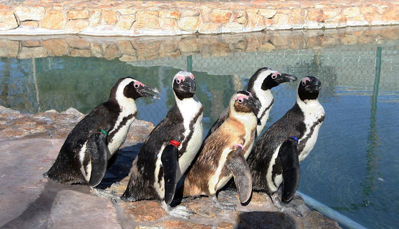 Five penguins, Josie, Albert, Charlie, Chalet and Hawaii, left to right, stand by the water at Wayne Newton's Casa de Shenandoah, Tuesday, March 12, 2013, in Las Vegas. (AP Photo/Las Vegas Review-Journal, Jerry Henkel)