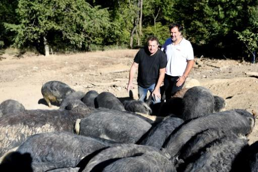 Michel Guidet, left, and Bruno Bluntzer with the dozens of Mangalitzas bred at Guidet's farm in La Chapelle-du-Bard, France