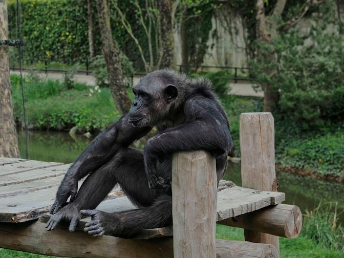 <p>A chimpanzee sits in its enclosure at the empty zoological park of Beauval in Saint-Aignan-sur-Cher, on 16 April 2020</p> ((AFP via Getty Images))