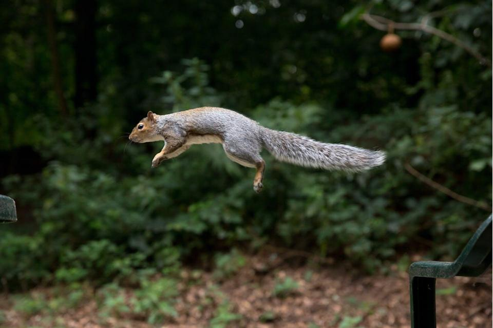 """<span class=""""caption"""">How do they stick their landings?</span> <span class=""""attribution""""><a class=""""link rapid-noclick-resp"""" href=""""https://www.gettyimages.com/detail/photo/squirrel-in-flight-royalty-free-image/591414917"""" rel=""""nofollow noopener"""" target=""""_blank"""" data-ylk=""""slk:Alex Turton via Getty Images"""">Alex Turton via Getty Images</a></span>"""