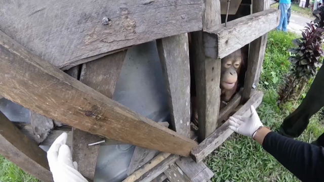 watch-orangutan-rescued-from-tiny-dark-box-where-he-was-kept-prisoner-for-years