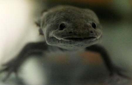 An axolotl (Ambystoma mexicanum), or Mexican salamander, is pictured at the Biology Institute of the National Autonomous University of Mexico (UNAM) in Mexico City, Mexico May 25, 2018. REUTERS/Carlos Jasso/Files