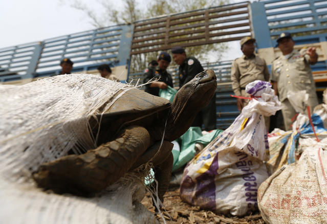 <p>A turtle is seen as Cambodian police officers handle over wild animals to members of the WildAid NGO, after they were recovered from smugglers in Kandal province, outside Phnom Penh, Cambodia March 29, 2016. (Photo: Samrang Pring/Reuters) </p>