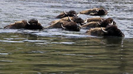 A herd of bison swim across the Yellowstone River in Yellowstone National Park, Wyoming in this June 21, 2011 file photo. REUTERS/Jim Urquhart/Files
