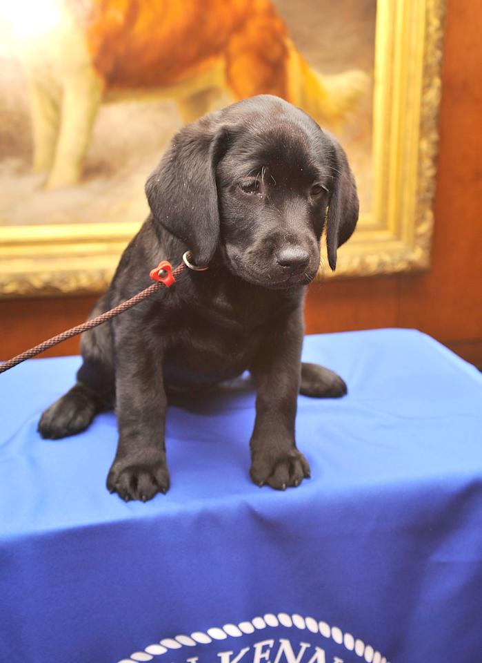 NEW YORK, NY - FEBRUARY 28: Brooklyn's Deli, a black Labrador Retriever puppy attends as American Kennel Club announces Most Popular Dogs in the U.S. at American Kennel Club Offices on February 28, 2012 in New York City.  (Photo by Gary Gershoff/Getty Images for AKC)