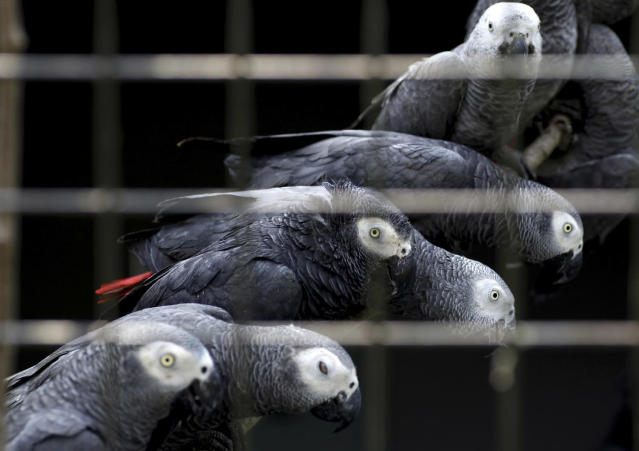 <p>African grey parrots rescued from an illegal trader by Ugandan officials at the Uganda-Democratic Republic of Congo border crossing are seen at the Uganda Wildlife Education Centre in Entebbe, southwest of the capital Kampala January 12, 2011. Illegal trade in the parrots, which are valued between $300 and $700, has increased in recent years, according a spokeswoman for centre. (Photo: James Akena/Reuters) </p>