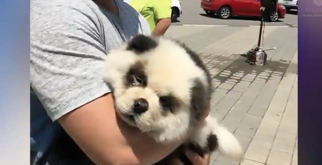 Tourists pose with 'panda cub' that turns out to be dyed puppy