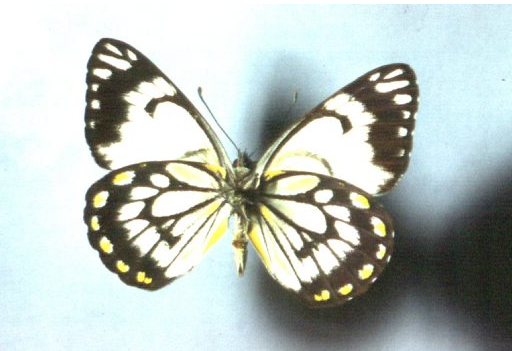 The Caper White butterfly. Photo: Australian Museum