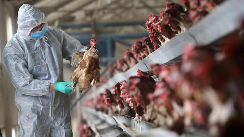 A veterinarian checks on chickens for symptoms of avian flu. Image: Science