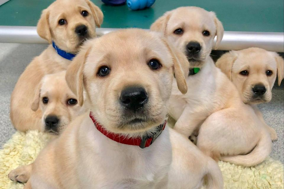 <p>According to the study, genetics explained more than 40 per cent of the variation in puppies' abilities to follow human pointing gestures.</p> (PA)