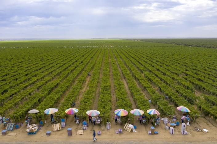 DELANO, CA - AUGUST 13: Colorful umbrellas shade farmworkers as they pack up fresh harvested grapes Thursday, Aug. 13, 2020 in Delano, CA. Brian van der Brug / Los Angeles Times)