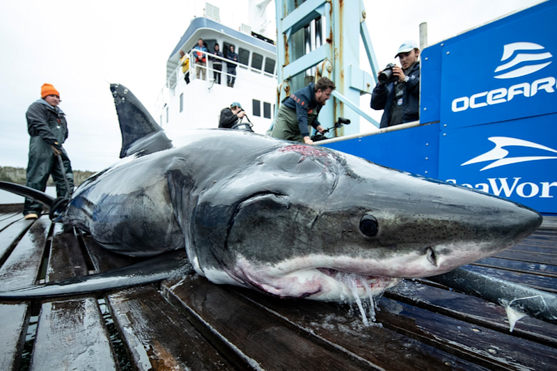 A 13-Foot Great White Shark Has Been Found, With Bite Marks of 'Even Bigger Shark'