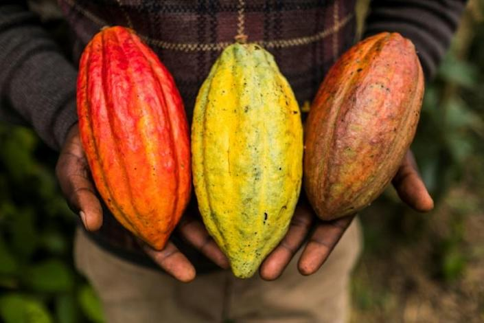 Cocoa pods contain beans that are dried to make chocolate -- growing and harvesting them is a labour-intensive business