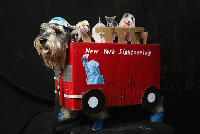 Nacho, a four-year-old Schnauzer, poses as a New York sightseeing bus driver at the Tompkins Square Halloween Dog Parade. (Photo by John Moore/Getty Images)