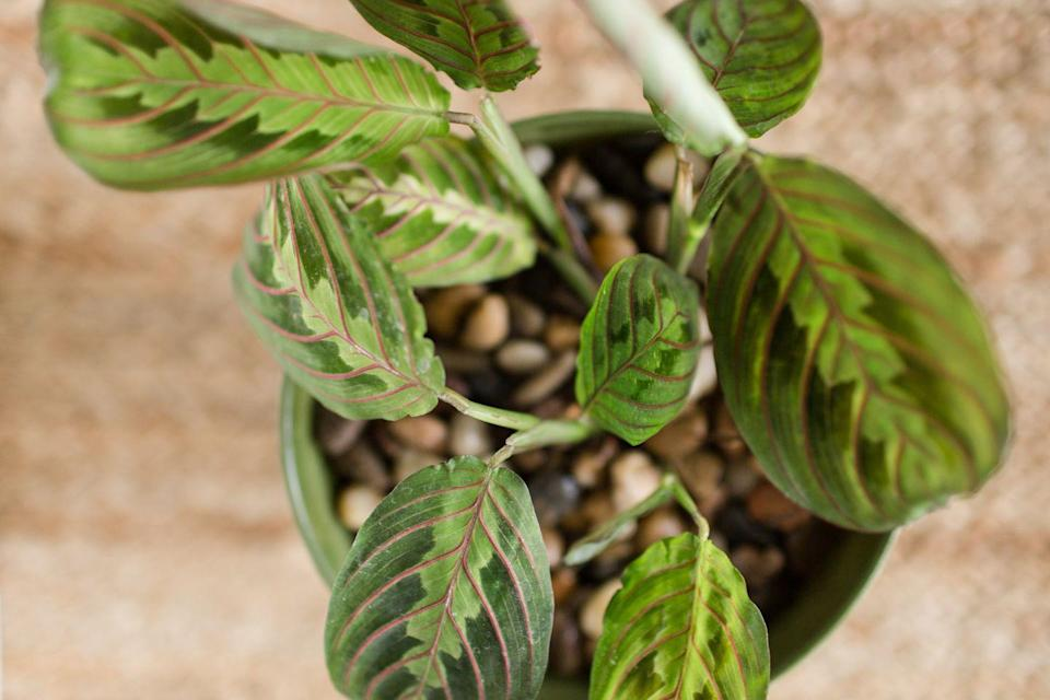 """<p>This under-appreciated beauty has veined leaves that curl up, as if in prayer, in response to darkness. It prefers moderate light and moist soil.</p><p><a class=""""link rapid-noclick-resp"""" href=""""https://www.amazon.com/Two-Prayer-Plant-Maranta-House/dp/B01BFLGZYM/?tag=syn-yahoo-20&ascsubtag=%5Bartid%7C10055.g.32440507%5Bsrc%7Cyahoo-us"""" rel=""""nofollow noopener"""" target=""""_blank"""" data-ylk=""""slk:SHOP PRAYER PLANT"""">SHOP PRAYER PLANT</a></p>"""