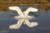 <p>A swan swoops in to land on a lake in Beaufort Hill Woodlands, in Brecon Beacons, Wales, recreating the Star Wars fighter in flight image. (Photo: Leslie Price/Caters News) </p>