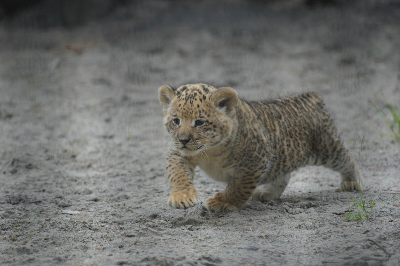 In this Tuesday, June 18, 2013 photo, a month-old liliger cub walks in Novosibirsk Zoo. The cub's mother is Zita, a liger - half-lioness, half-tiger, and its father is a lion, Sam. (AP Photo /Ilnar Salakhiev)