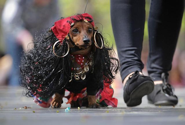 <p>A woman walks with her dachshund dressed as a Gypsy woman during a dachshund parade in St. Petersburg, Russia, Saturday, May 27, 2017. (Photo: Dmitri Lovetsky/AP) </p>