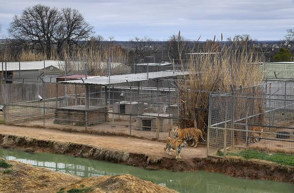 Some of the enclosures for the tigers were larger than others at the Greater Wynnewood Exotic Animal Park.
