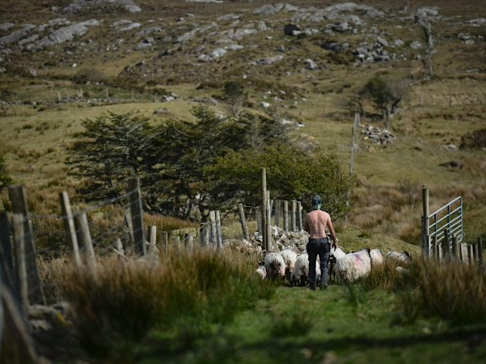 An Irish man leads his sheep and lambs to the field in Ireland.