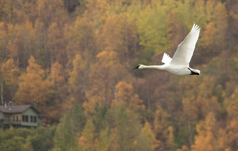 In this photo taken Friday Oct. 5, 2012, a trumpeter swan flies over Potter Marsh in Anchorage, Alaska. Trumpeter swans continued a remarkable comeback from near extinction in the Lower 48 states and much of their Alaska habitat, said federal wildlife biologist Deborah Groves, who has counted Alaska swans since 1990. (AP/Dan Joling)