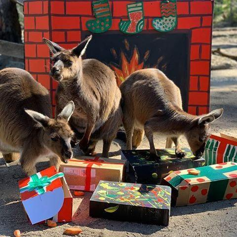 <p>The kangaroos at Zoos Victoria in Australia are bouncing with excitement about their gifts.</p>