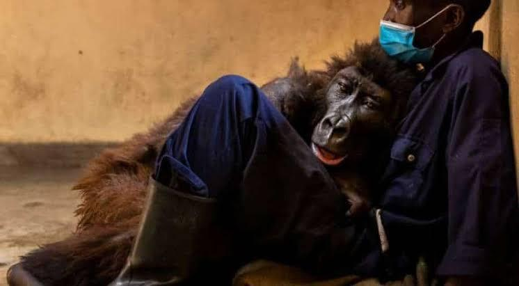 Ndakasi, a mountain gorilla who became the selfie star dies in the arms of her caretaker