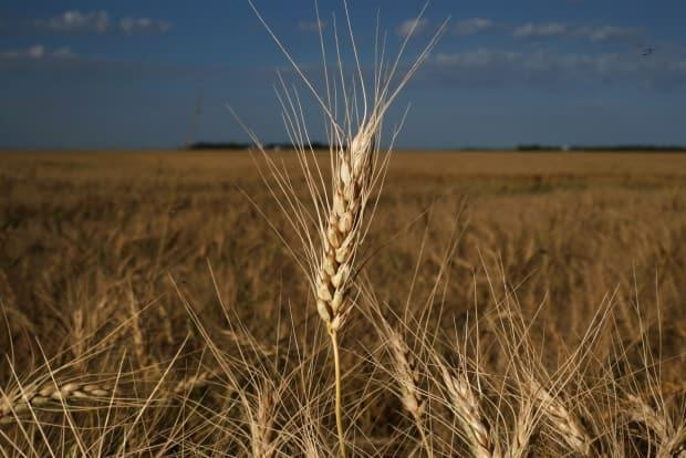 Spring wheat grows in a field before harvest near Brunkild, Man., last year. While 2020 was a decent one for Canadian grain crops, 2021 is shaping up to be a disaster. (Shannon VanRaes/Bloomberg - image credit)