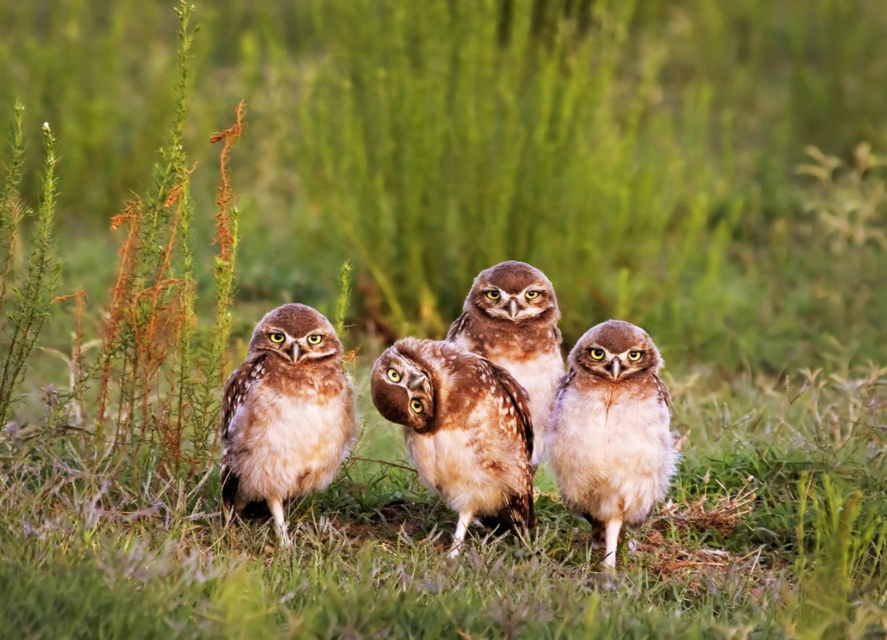 <p>An owl looks extremely confused by the photographer as his buddies stare into the lens. (Mario Gustavo Firoucci/Barcroft Media) </p>