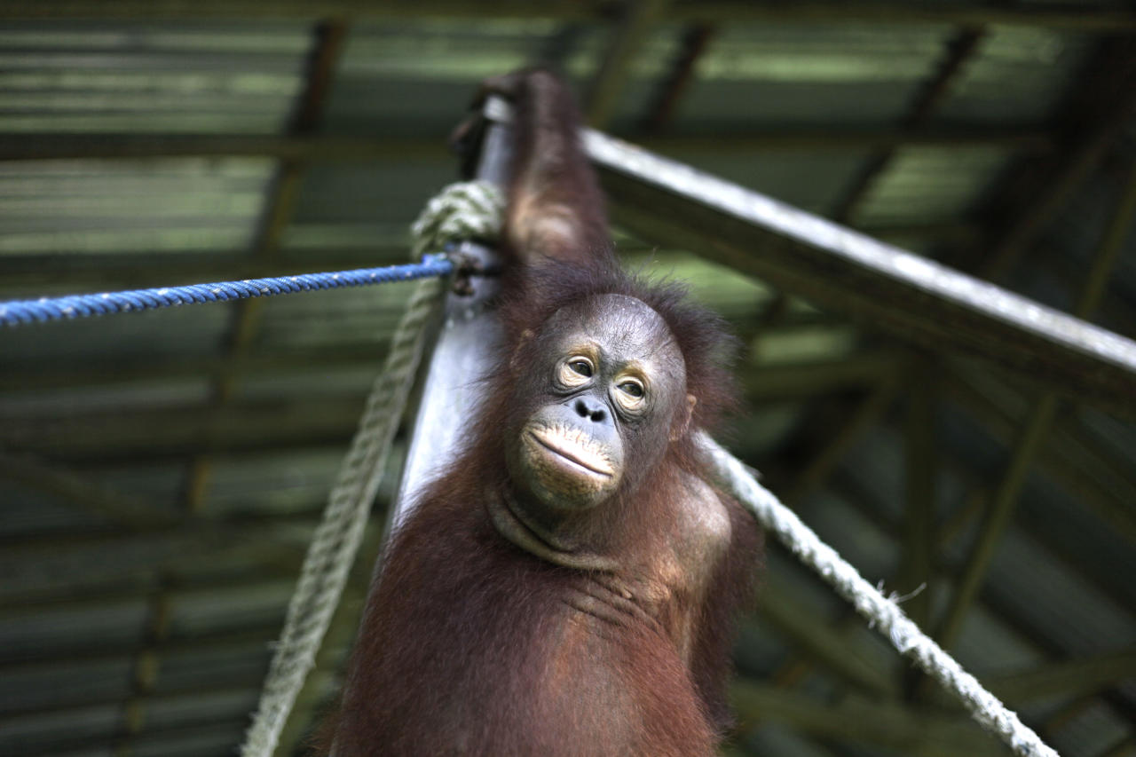 In this Monday, Jan. 10, 2011 photo, a juvenile orangutan plays at a care center where he learns the skills needed to survive in the wild in Pasir Panjang, Central Kalimantan, Indonesia. Hundreds of orangutans live at the rehabilitation center waiting to be released into the wild.