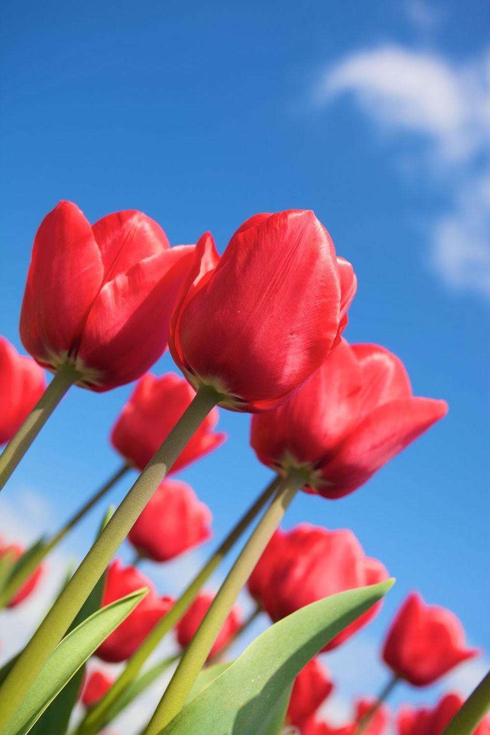 <p>Red roses aren't the only flower with a romantic meaning, so you don't have to totally splurge to show your dedication. Red tulips are also considered a declaration of love, and they're especially gorgeous in the spring. </p>
