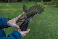 """A catbird flies form the open hands of avian ecologist and Georgetown University Ph.D. student Emily Williams, Thursday, May 6, 2021, in Silver Springs, Md. """"Maybe you'd have to travel to Alaska or Canada to see a grizzly bear, or go to Africa to see a zebra — but birds are literally right outside your door, anywhere you are in the world,"""" she says. (AP Photo/Carolyn Kaster)"""