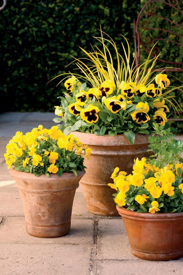 <p>Good things come in threes, including this beaming trio of 'Ogon' golden sweet flag, 'Matrix Yellow Blotch' pansies, and 'Penny Clear Yellow' violas.</p>