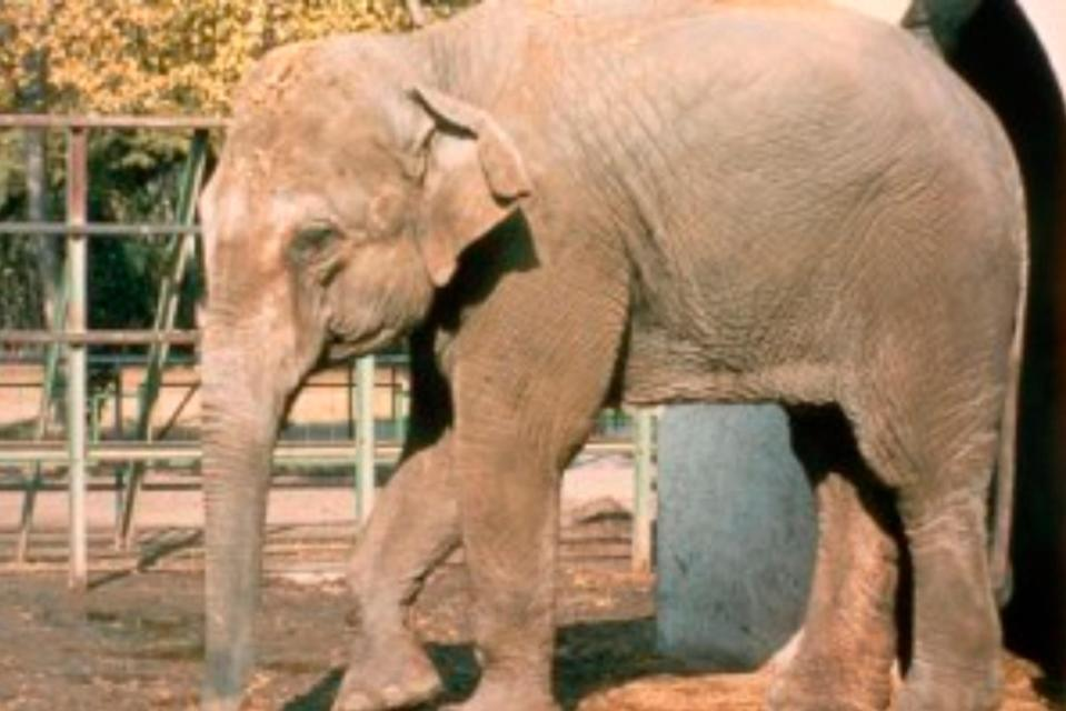 Flavia the 'world's saddest elephant' dies after spending 43 years alone in a zoo.