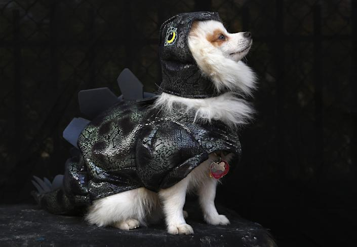 Pomeranian Fritz poses as a dragon at the Tompkins Square Halloween Dog Parade. (Photo by John Moore/Getty Images)