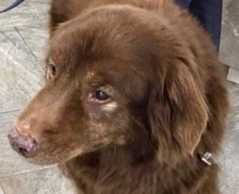 Pictured is Sadie, a 17-year-old Chesapeake Bay Retriever. She's deaf and went missing in a state park for five days but was found alive at the bottom of a ravine.