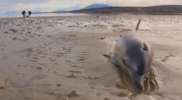 A dolphin is stuck in the sand while the surfers pull the other sea creatures to safety. Source: Fergus Sweeney