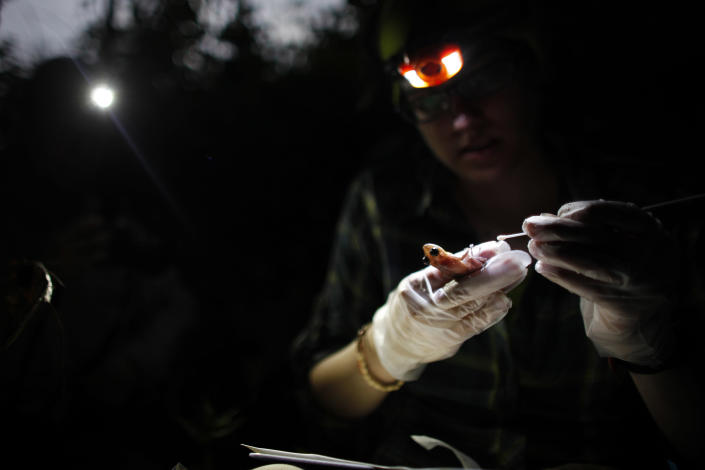 In this March 21, 2013 photo, Ana Longo, a researcher with Proyecto Coqui, takes samples from a Coqui Guajon or Rock Frog (Eleutherodactylus cooki) at a tropical forest in Patillas, Puerto Rico. A familiar sound is vanishing from the Caribbean night. The bird-like peeps and chirping of frogs are fainter across the region, a decline scientists say appears to be caused by a combination of climate change, a fungus that has been killing amphibians around the world, and habitat loss. It's a global problem, but worrisome in the Caribbean because the island geography means many species exist nowhere else on earth and the loss of frogs, a principal nocturnal predator of mosquitoes, may have severe consequences for humans. (AP Photo/Ricardo Arduengo)