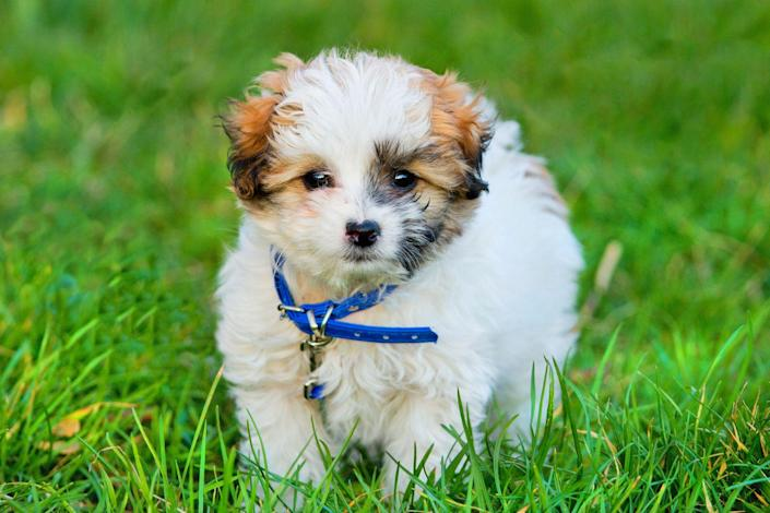 """<p>Any Havanese owner will tell you that these dogs are pretty perfect pets. Not only are they <a href=""""http://www.vetstreet.com/dogs/havanese#0_no7hv3zh"""" rel=""""nofollow noopener"""" target=""""_blank"""" data-ylk=""""slk:hypoallergenic and low-shedding"""" class=""""link rapid-noclick-resp"""">hypoallergenic and low-shedding</a> — Vetstreet gives them a 1 out of 5 on the shed-scale — but they are also incredibly friendly, affectionate, and smart, making them ideal for people who have kids or <a href=""""https://www.womansday.com/life/g2059/christmas-party-games/"""" rel=""""nofollow noopener"""" target=""""_blank"""" data-ylk=""""slk:who like to entertain"""" class=""""link rapid-noclick-resp"""">who like to entertain</a>. </p>"""