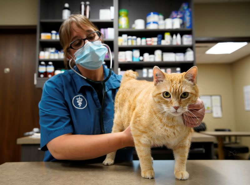 Dr. Liz Ruelle examines a cat at the Wild Rose Cat clinic in Calgary