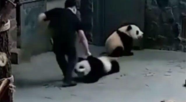 The handler, Mr Guo, claims a panda bit him and he reacted