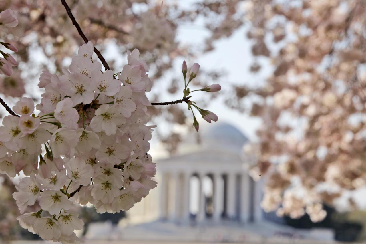 FILE - In this Monday, March 19, 2012 file photo, blooming cherry blossoms frame the Jefferson Memorial, on the Tidal Basin in Washington. Washington's famous cherry blossoms turn 100 years old this year, offering a chance to look at the history of the oldest trees still standing that were once planted by first lady Helen Taft and the Japanese emperor's wife. (AP Photo/Charles Dharapak, File)