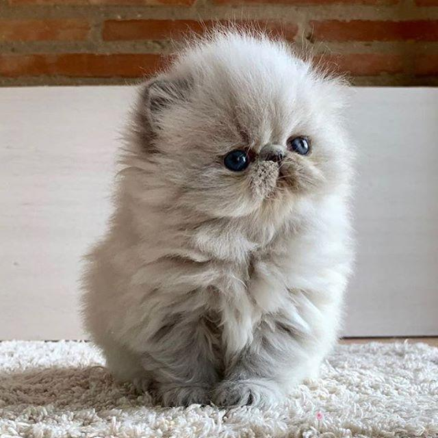 """<p>Is...this...the...squishiest little face...in the entire world?! Yes, I think so. Exotic shorthairs' expressive face, wide eyes, and big round body make up the cuteness trifecta, in my opinion. Total munchkin status.</p><p><a href=""""https://www.instagram.com/p/BwgxXjLJuxS/?utm_source=ig_web_button_share_sheet"""" rel=""""nofollow noopener"""" target=""""_blank"""" data-ylk=""""slk:See the original post on Instagram"""" class=""""link rapid-noclick-resp"""">See the original post on Instagram</a></p>"""