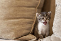 Playful kitten playing on the sofa, hiding between cushions and meowing