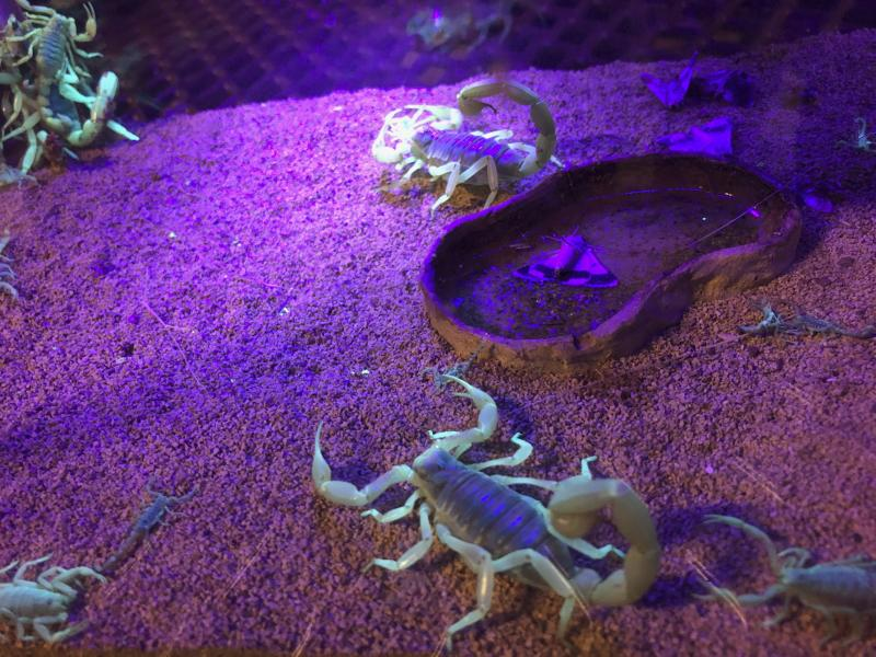 In this Aug. 18, 2019 photo, scorpions wander in a tank after being captured in Lost Dutchman State Park, Ariz. Feared, admired and loathed, scorpions have roamed the earth for 450 million years. An interesting way to learn about the critters, which glow under black lights, is to go on scorpion hunts in Southwest states like Arizona and New Mexico. Wear closed-toed shoes and pants, bring black lights and prepare to be awed. (AP Photo/Peter Prengaman)