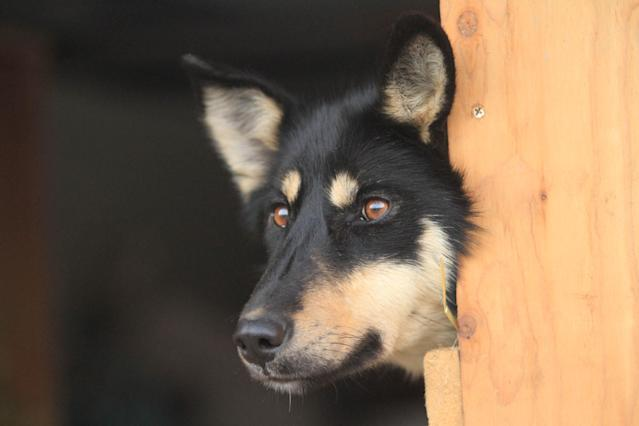 Bonnet, a sled dog on the team of former Iditarod champion Jeff King, lies in a dog box of a truck before the ceremonial start of the 2014 Iditarod Trail Sled Dog Race on Saturday, March 1, 2014, in Anchorage, Alaska. (AP Photo/Dan Joling)